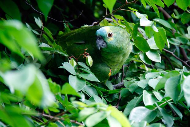 image of a green bird in foliage